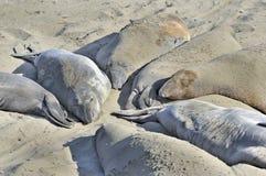 uśpiony plażowy słoń pieczętuje pogodnego Obrazy Stock