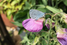 Uświęcony Błękitny Motyli Celastrina argiolus Zdjęcia Royalty Free