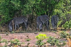 Użycza ` s zebry, Equus kwaga boehmi w Południowym Luangwa parku narodowym, zambiowie fotografia royalty free