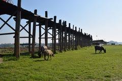 U Bein Bridge in Amarapura, Mandalay, Myanmar. U Bein Bridge and cows eating grass Royalty Free Stock Images