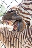 Uśmiech zebra w zoo w naturze Zdjęcie Stock
