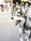 Uśmiechu siberian husky Obraz Royalty Free