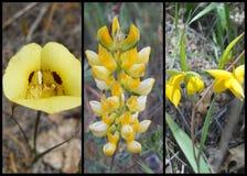 U occidentale giallo S Collage dei Wildflowers Immagine Stock