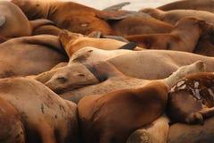uśpiony lwów palowy morze Zdjęcie Stock