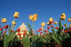 U.S. Capitol with Tulips. Tulips in spring with U.S. Capitol building in the background, Washington D.C Stock Photo