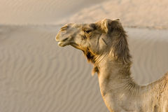 UAE Dubai close-up of a camels head in the desert outside of Dubai Royalty Free Stock Images