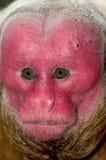 uakari красного цвета обезьяны Стоковые Фотографии RF