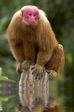 Uakari Royalty Free Stock Image