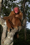 Uakari monkey, Cacajao calvus, Royalty Free Stock Images