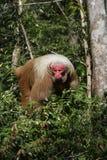 Uakari monkey, Cacajao calvus, Royalty Free Stock Image