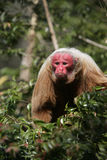 Uakari monkey, Cacajao calvus, Royalty Free Stock Photography