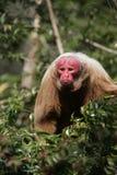 Uakari monkey, Cacajao calvus, Royalty Free Stock Photography
