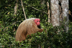 Uakari monkey, Cacajao calvus, Royalty Free Stock Photos