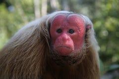 Uakari monkey, Cacajao calvus, Stock Photo