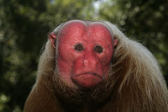 Uakari monkey, Cacajao calvus, Stock Images
