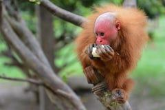 Red Uakari Monkey stock photo