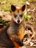 Ualabi Australia del pantano Imagenes de archivo