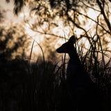 Ualabi Bonito-hecho frente en la puesta del sol Imagenes de archivo