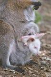 Ualabi de cuello rojo y su joey Foto de archivo