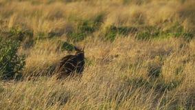 Ualabi, Macropus Protemnodon, comiendo la hierba en la puesta del sol en Australia almacen de video