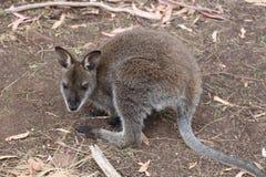 Ualabi Tasmania del pantano del bebé Fotografía de archivo libre de regalías