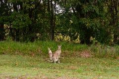 Ualabi y canguro en Bush Queensland foto de archivo