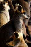 Ualabis del pantano Fotos de archivo libres de regalías