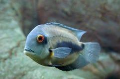 Uaru amphiacanthoides Νότος - αμερικανική κινηματογράφηση σε πρώτο πλάνο ψαριών Στοκ φωτογραφία με δικαίωμα ελεύθερης χρήσης