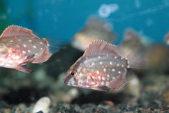Uaru (Triangle cichlid) aquarium fish Royalty Free Stock Image