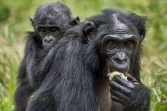? ub d'un bonobo sur un dos à la mère dans l'habitat naturel Fond naturel vert Le bonobo (paniscus de casserole) Image stock
