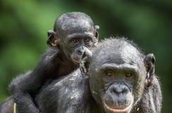 ? ub d'un bonobo sur un dos à la mère dans l'habitat naturel Fond naturel vert Le bonobo (paniscus de casserole) Images libres de droits