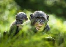 ? ub d'un bonobo sur un dos à la mère dans l'habitat naturel Fond naturel vert Le bonobo (paniscus de casserole) Image libre de droits