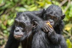 ? ub d'un bonobo sur un dos à la mère dans l'habitat naturel Fond naturel vert Le bonobo (paniscus de casserole) Photos stock
