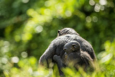 ? ub eines Bonobo auf einer Rückseite an der Mutter im natürlichen Lebensraum Grüner natürlicher Hintergrund Lizenzfreie Stockbilder