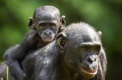 ? ub eines Bonobo auf einer Rückseite an der Mutter im natürlichen Lebensraum Grüner natürlicher Hintergrund Stockbilder