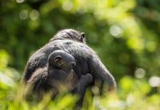 ? ub eines Bonobo auf einer Rückseite an der Mutter im natürlichen Lebensraum Grüner natürlicher Hintergrund Stockbild