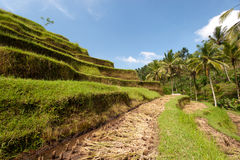 Ubad Rice Terraces, Bali Royalty Free Stock Image