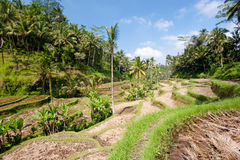 Ubad Rice Terraces, Bali Royalty Free Stock Images