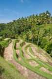 Ubad Rice Terraces, Bali Stock Photos