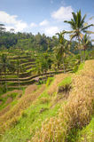 Ubad Rice Terraces, Bali Stock Images