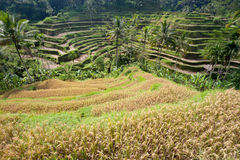 Ubad Rice Terraces, Bali Royalty Free Stock Photo