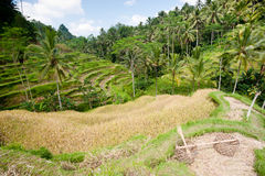 Ubad Rice Terraces, Bali Stock Image