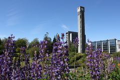 UBC Lupines and Clocktower, Vancouver Stock Image