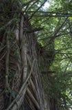 Ubicación del vontage del verde de la hiedra de la subida del árbol de la casa vieja Fotos de archivo