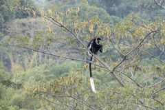 Ubicazione in bianco e nero della scimmia di colobus nell'albero Immagini Stock