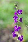 łubinowe purpury Zdjęcie Royalty Free