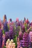 Łubinowy kwiat Obrazy Stock