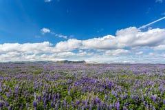 Łubinu pole w Iceland Zdjęcia Royalty Free