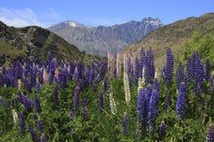 Łubiny i pasmo górskie Zdjęcie Royalty Free