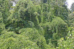 Ubiquitious Kudzu Stock Image